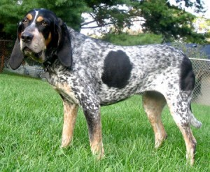 BluetickCoonhound_sm
