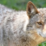 featured-coyote