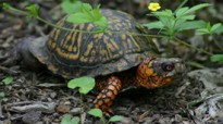featured_easternboxturtle